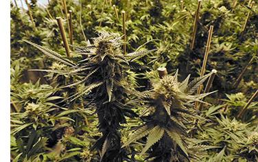 marijuana, cannabis, indica, growhouse